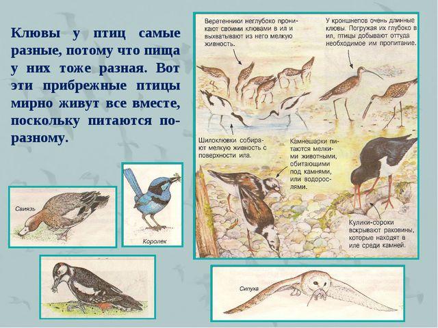 Клювы у птиц самые разные, потому что пища у них тоже разная. Вот эти прибреж...