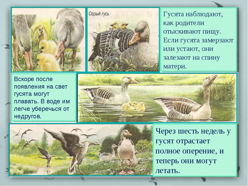 Гусята наблюдают, как родители отыскивают пищу. Если гусята замерзают или уст...
