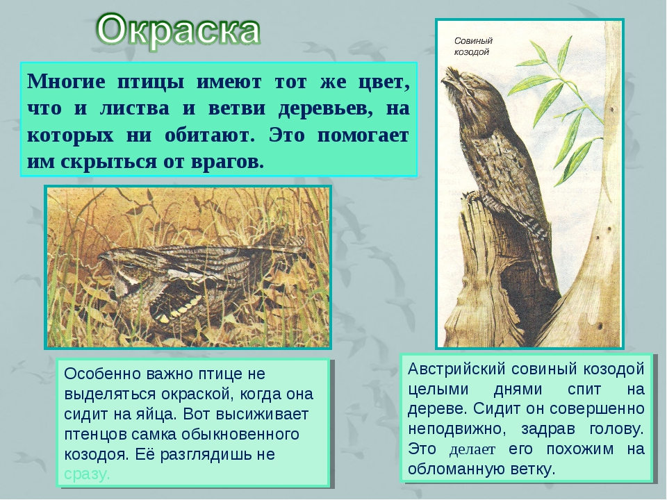 Многие птицы имеют тот же цвет, что и листва и ветви деревьев, на которых ни...