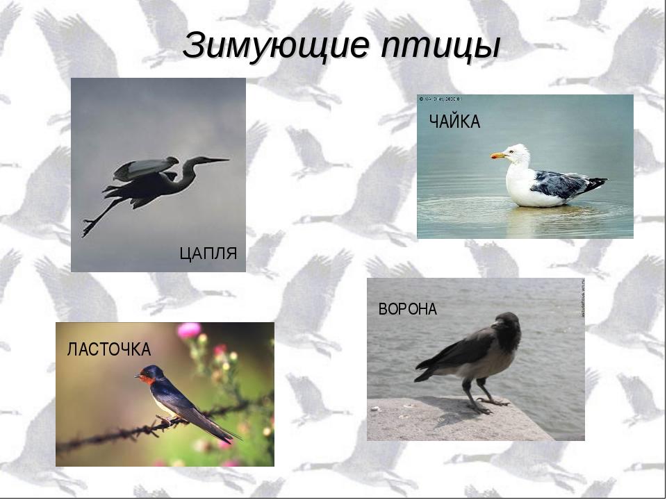 ЦАПЛЯ ЧАЙКА ЛАСТОЧКА ВОРОНА Зимующие птицы