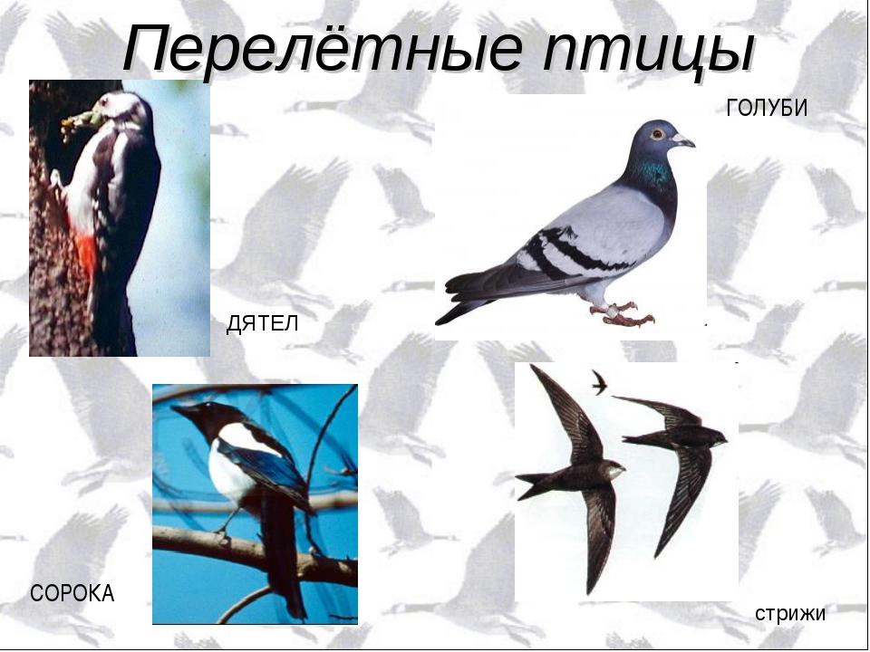 стрижи ДЯТЕЛ СОРОКА ГОЛУБИ Перелётные птицы