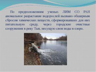 По предположениям ученых ЛИМ СО РАН аномальное разрастание водорослей вызвано