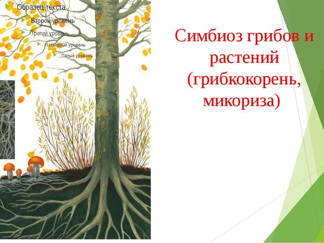 Симбиоз грибов и растений (грибкокорень, микориза)