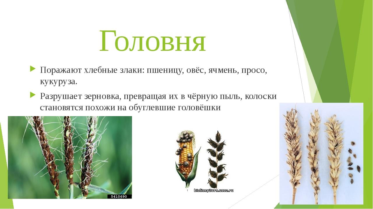 Головня Поражают хлебные злаки: пшеницу, овёс, ячмень, просо, кукуруза. Разру...