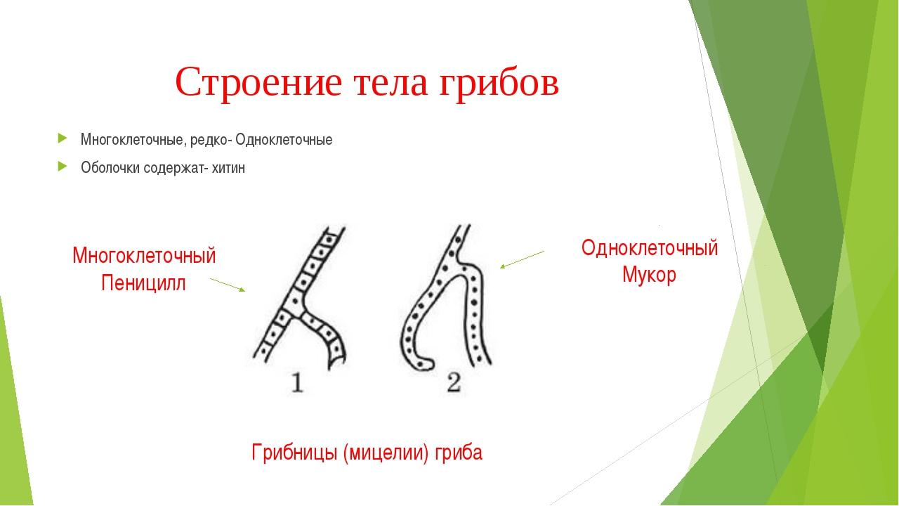Строение тела грибов Многоклеточные, редко- Одноклеточные Оболочки содержат-...