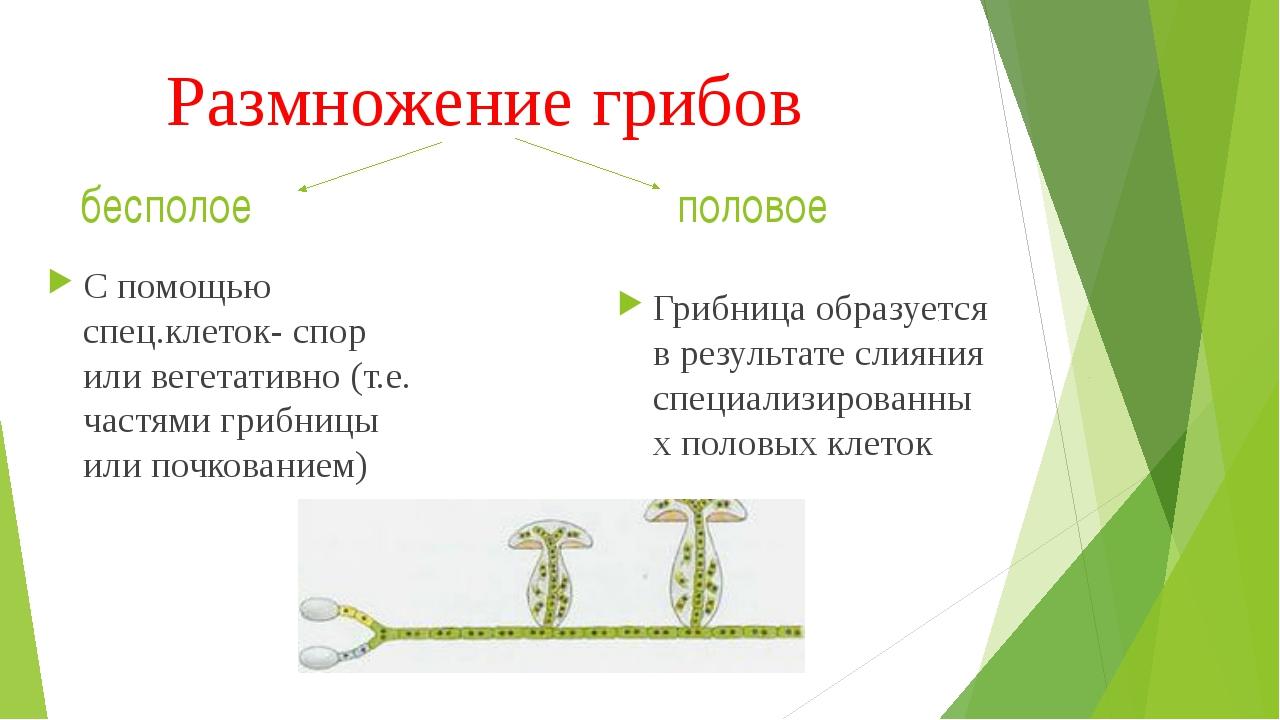 Размножение грибов Грибница образуется в результате слияния специализированны...