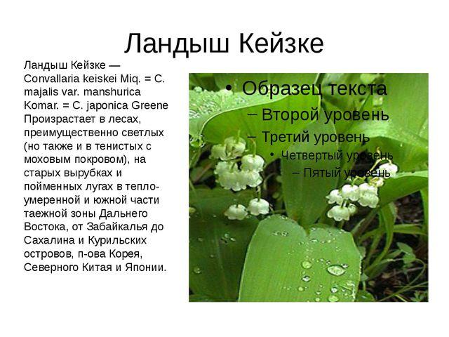 Ландыш Кейзке Ландыш Кейзке — Convallaria keiskei Miq. = С. majalis var. mans...