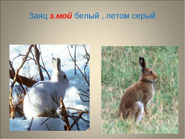 Заяц з.мой белый , летом серый.