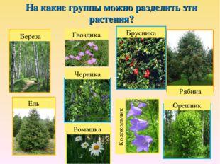 На какие группы можно разделить эти растения? Береза Ель Рябина Брусника Черн