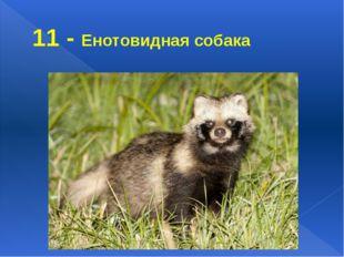 11 - Енотовидная собака