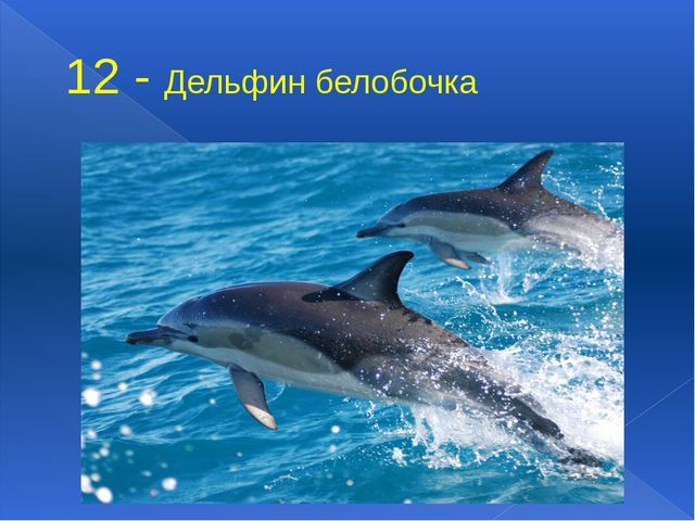 12 - Дельфин белобочка