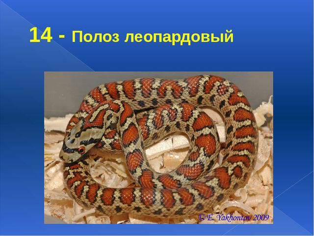 14 - Полоз леопардовый