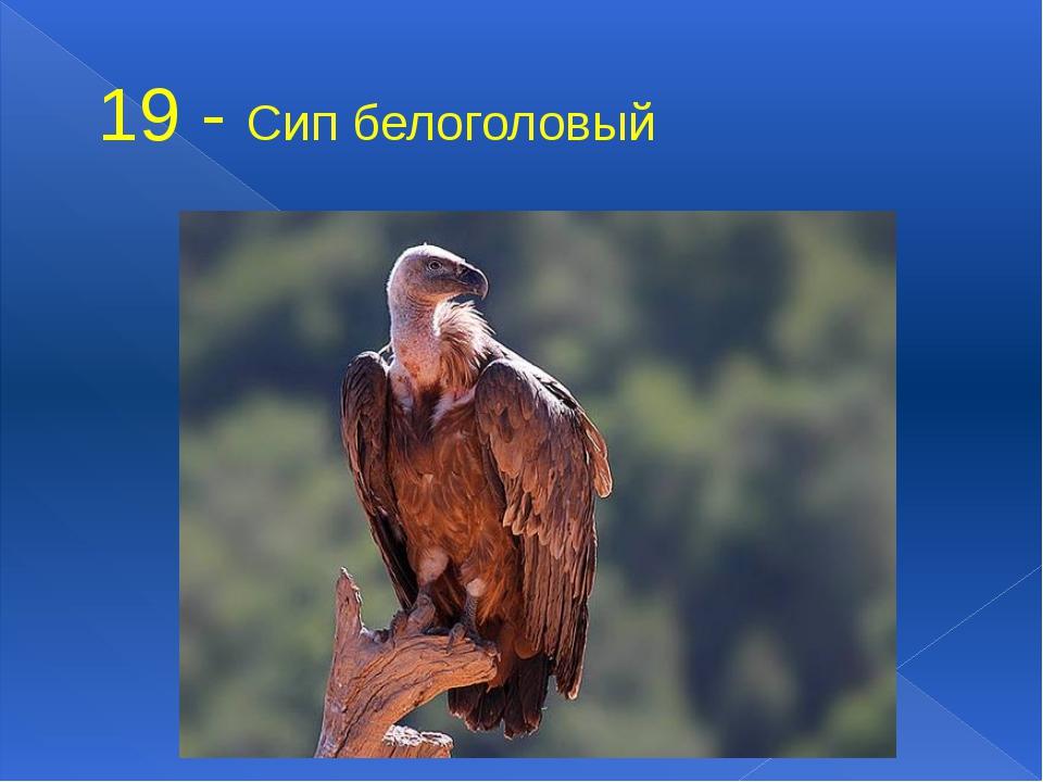 19 - Сип белоголовый