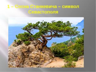 1 – Сосна Станкевича – символ Севастополя