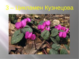 3 – Цикламен Кузнецова