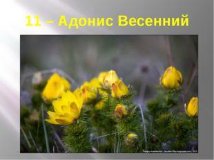 11 – Адонис Весенний
