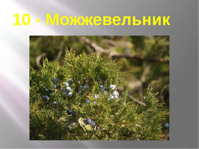10 - Можжевельник