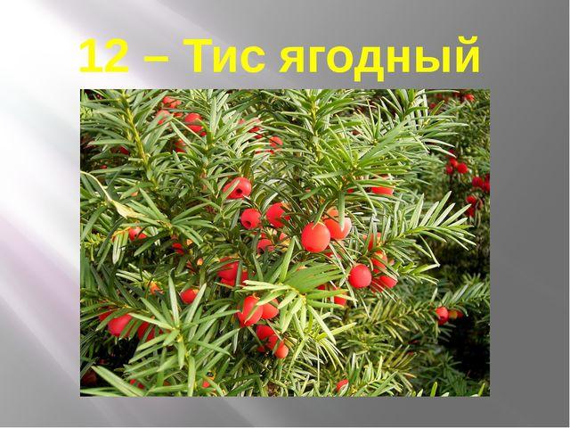 12 – Тис ягодный