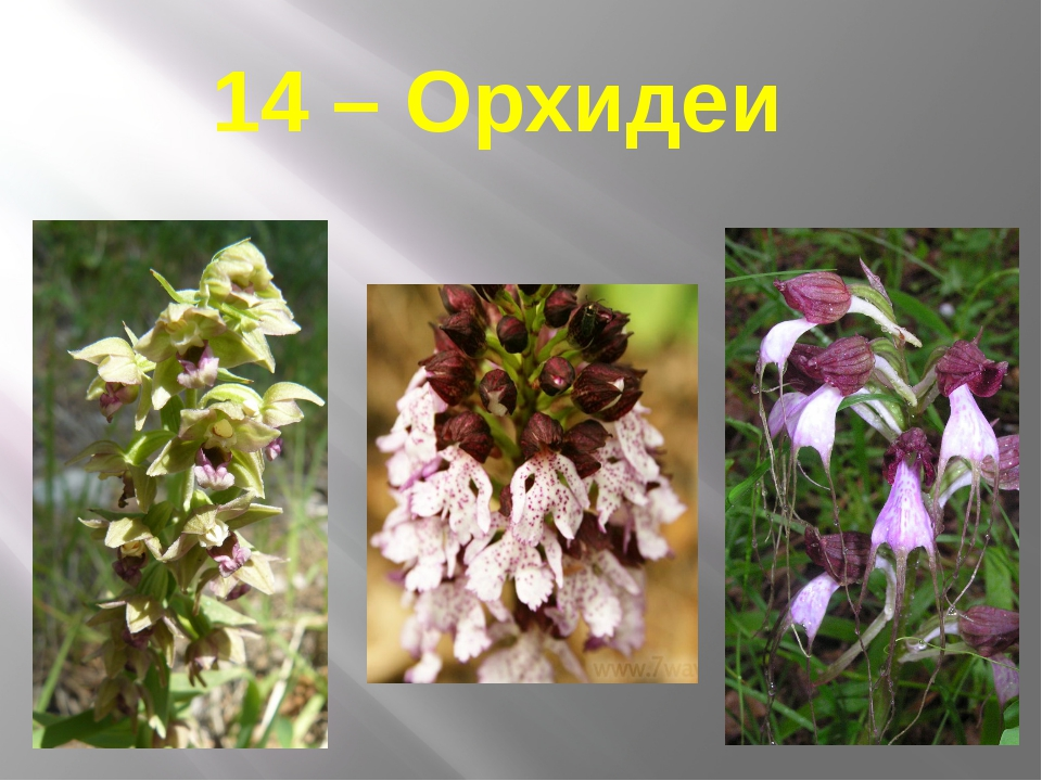 14 – Орхидеи