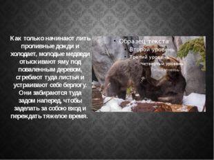 Как только начинают лить проливные дожди и холодает, молодые медведи отыскива