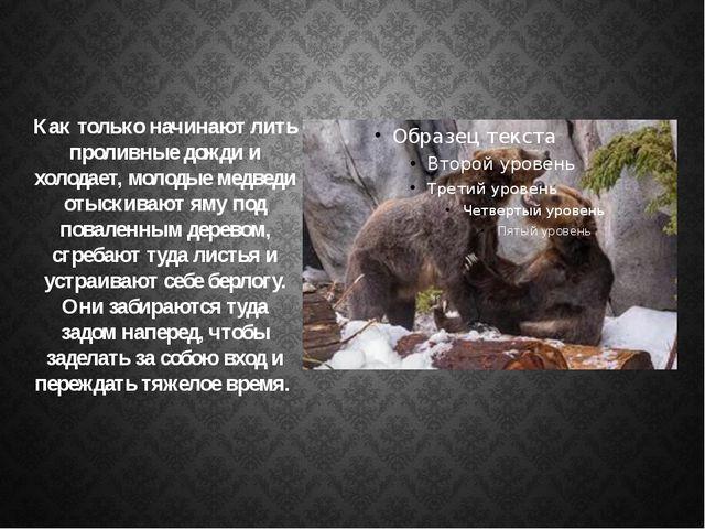 Как только начинают лить проливные дожди и холодает, молодые медведи отыскива...