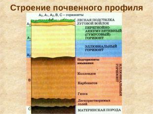 Строение почвенного профиля Почвенный профиль – вертикальный разрез почвы от