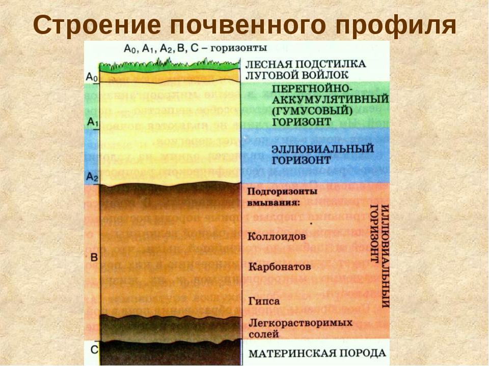 Строение почвенного профиля Почвенный профиль – вертикальный разрез почвы от...