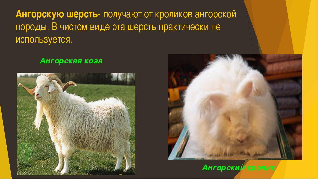 Ангорскую шерсть- получают от кроликов ангорской породы. В чистом виде эта ше...