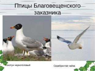 Птицы Благовещенского заказника Хохотун черноголовый Серебристая чайка