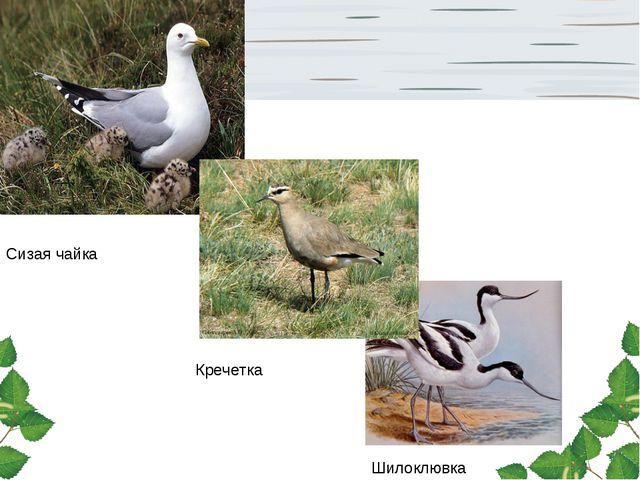 Сизая чайка Кречетка Шилоклювка
