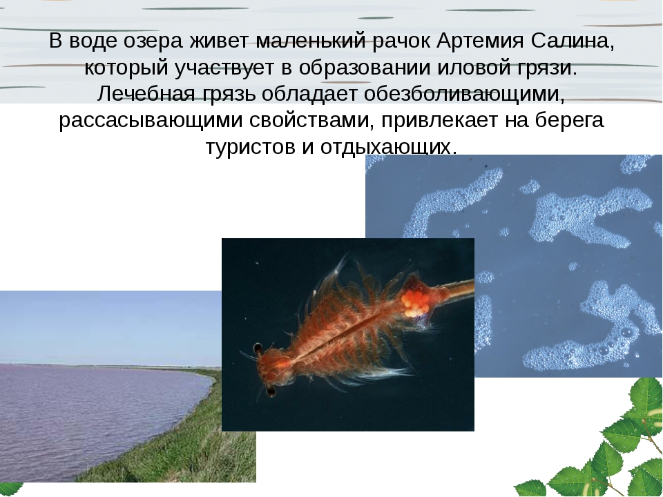 В воде озераживет маленький рачок Артемия Салина, который участвует в образо...