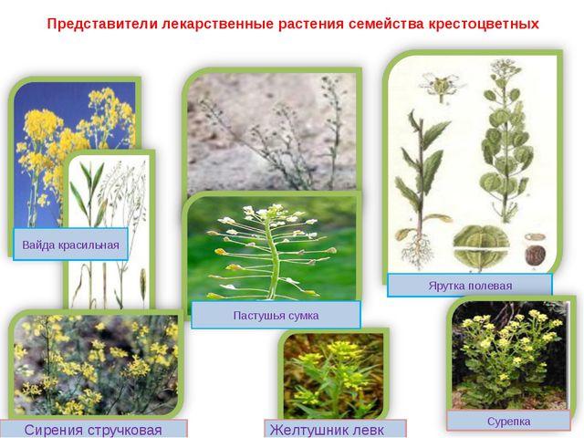 Представители лекарственные растения семейства крестоцветных Ярутка полевая В...