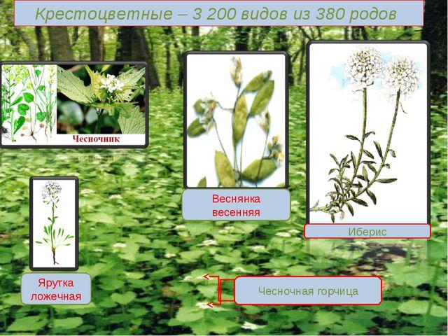 Крестоцветные – 3 200 видов из 380 родов Иберис Чесночная горчица Веснянка ве...