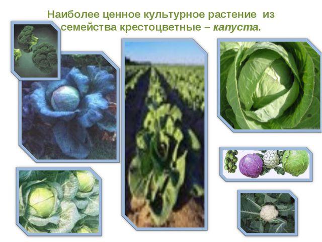 Наиболее ценное культурное растение из семейства крестоцветные – капуста.