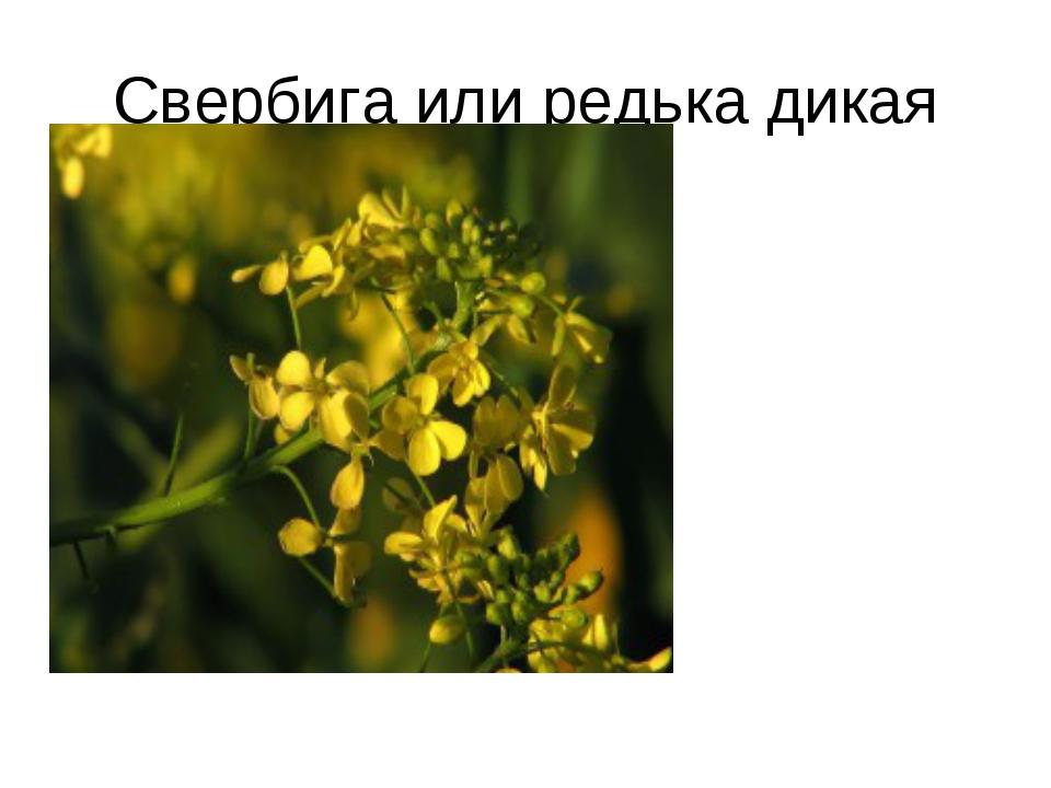 Свербига или редька дикая