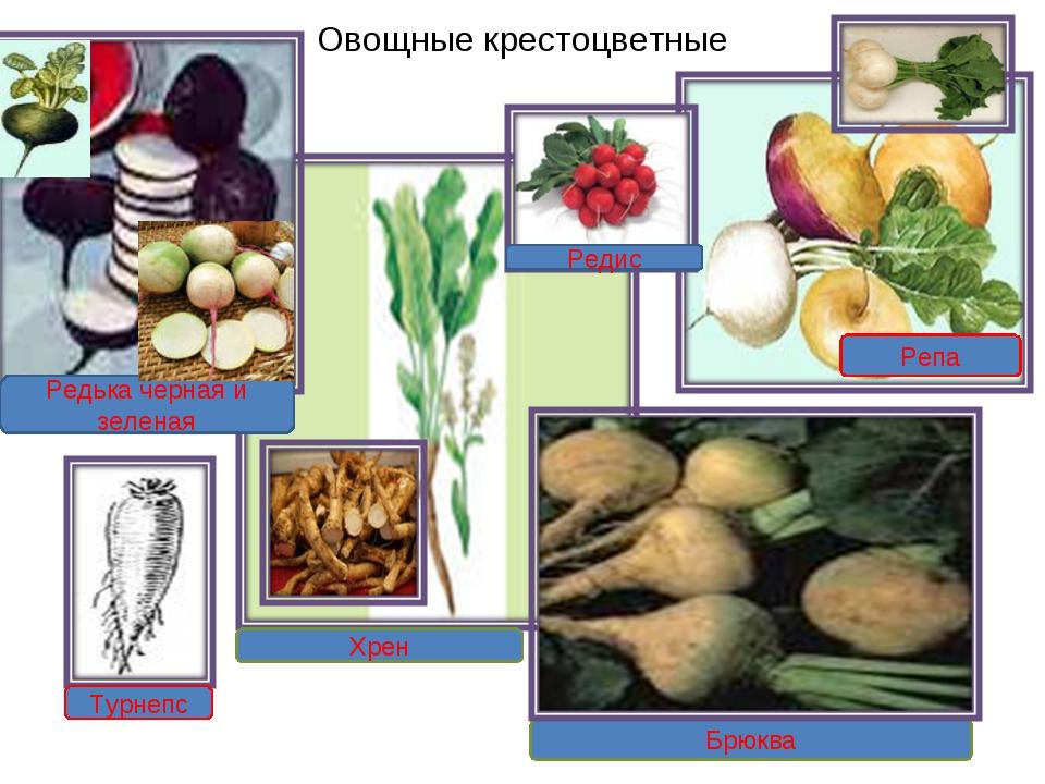 Хрен Редька черная и зеленая Брюква Редис Турнепс Репа Овощные крестоцветные