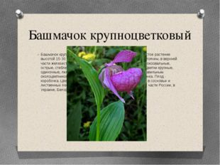 Башмачок крупноцветковый Башмачок крупноцветковый (петушки) - многолетнее тра