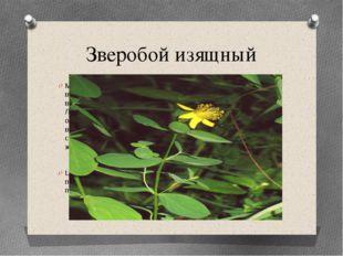 Зверобой изящный Многолетнее голое растение высотой 20-40 см, стебель восходя