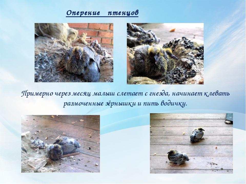 Оперение птенцов Примерно через месяц малыш слетает с гнезда, начинает клеват...