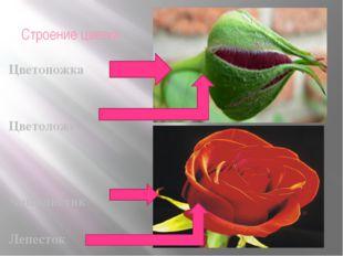 Строение цветка Цветоножка Цветоложе Чашелистик Лепесток