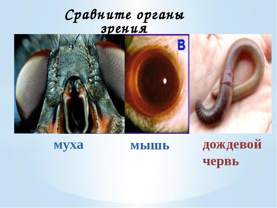 муха Сравните органы зрения дождевой червь мышь