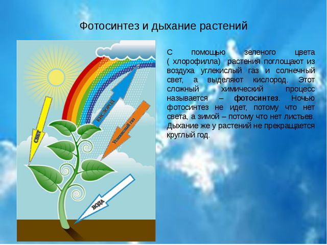 Фотосинтез и дыхание растений С помощью зеленого цвета ( хлорофилла) растения...