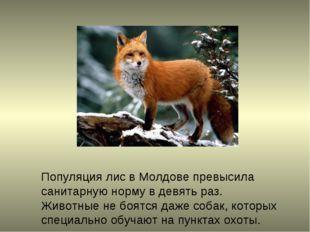 Популяция лис в Молдове превысила санитарную норму в девять раз. Животные не