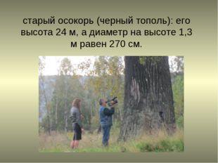 старый осокорь (черный тополь): его высота 24 м, а диаметр на высоте 1,3 м ра
