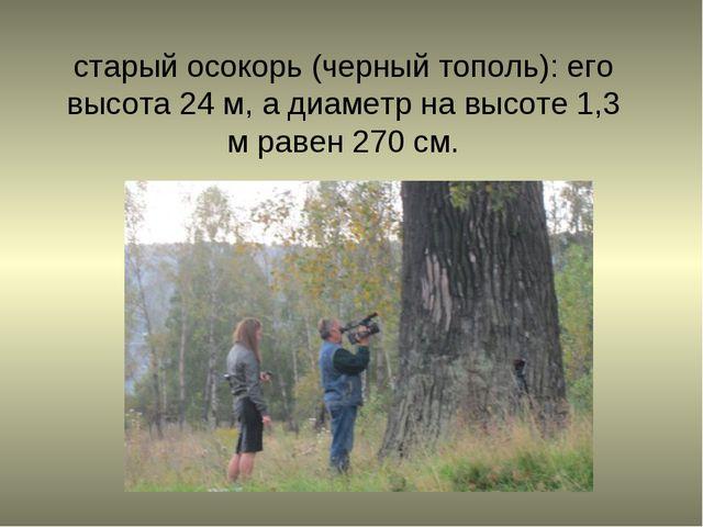 старый осокорь (черный тополь): его высота 24 м, а диаметр на высоте 1,3 м ра...