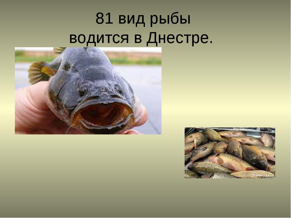 81 вид рыбы водится в Днестре.