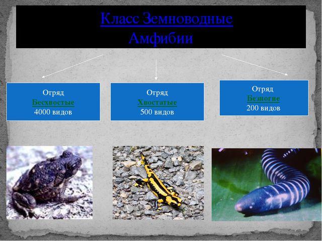 Класс Земноводные Амфибии Отряд Бесхвостые 4000 видов Отряд Хвостатые 500 ви...
