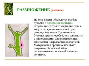 На теле гидры образуются особые бугорки с половыми клетками. Созревшие сперм