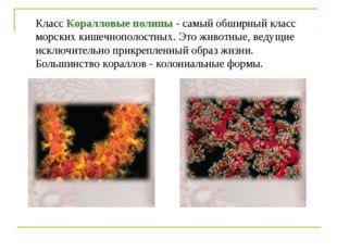Класс Коралловые полипы - самый обширный класс морских кишечнополостных. Это