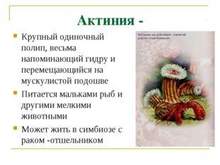 Актиния - Крупный одиночный полип, весьма напоминающий гидру и перемещающийся